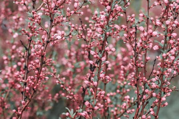 Blühende bäume mit rosa blüte und tau des frühlinges in der natur.