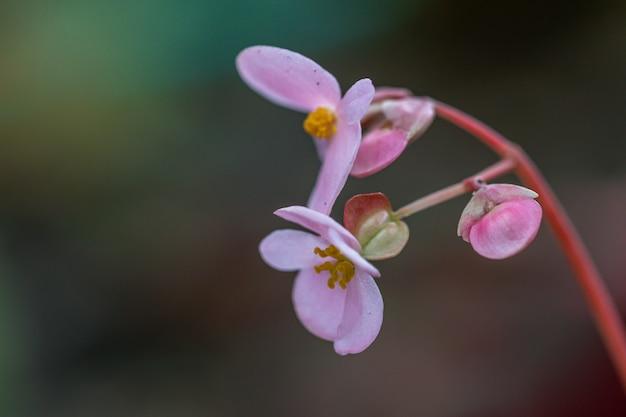 Blühende begonie im garten. begonienblume des selektiven fokus.