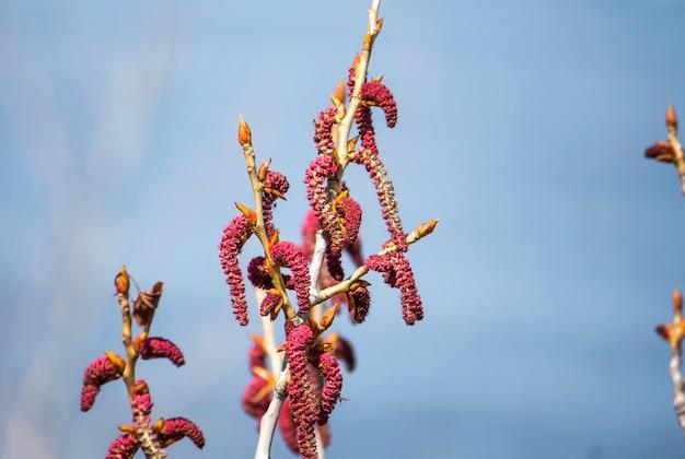 Blühende blätter und blüten aus knospen auf einem espenzweig mit einer kopie des raums.