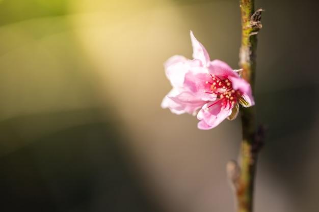 Blühende blüte der sakura-blumen in chiang mai, thailand,