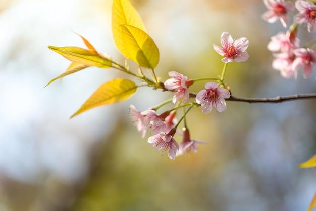 Blühende blüte der sakurablumen in chiang mai, thailand, naturhintergrund