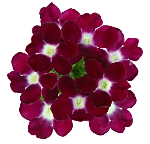 Blühende blütenknospe isoliert auf weißem hintergrund.