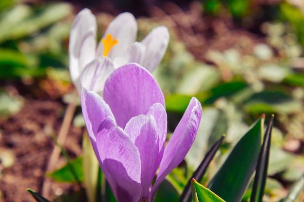 Blühende blütenknospen in einer frühlingsgarten-nahaufnahme