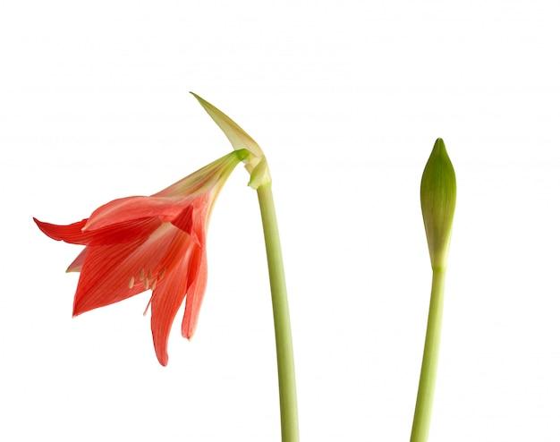 Blühende blume des roten hippeastrum striatum