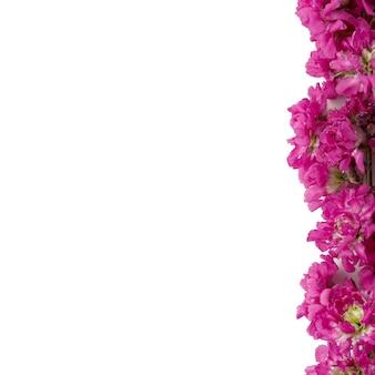 Blühende blume von viscaria vulgaris auf weißem hintergrund