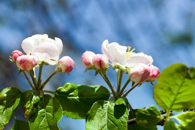 Blühende blumen der apfelbaumfrucht im garten, frühling