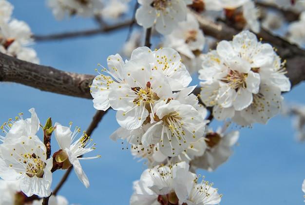 Blühende blumen des aprikosenbaums auf einem zweig