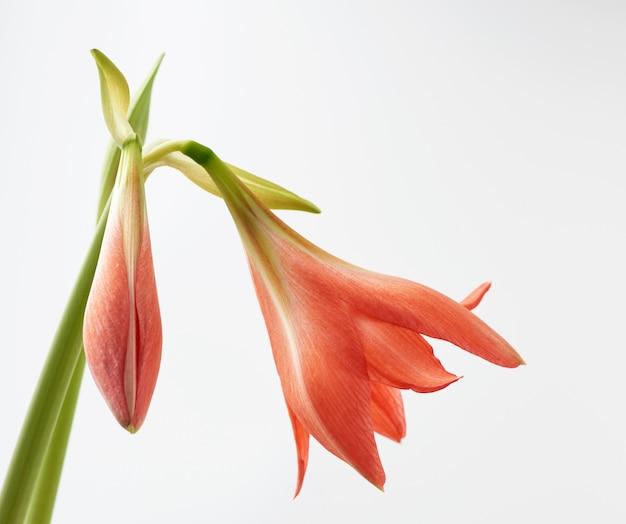 Blühende blumen des rosa hippeastrum striatum