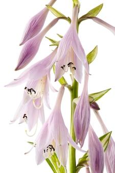 Blühende blumen hosta