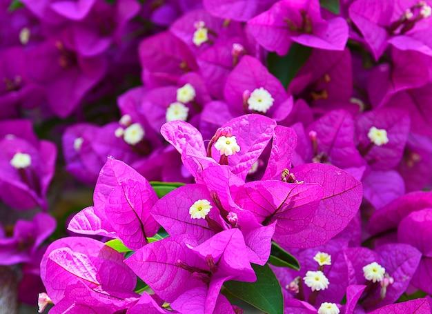 Blühende bouganvillablumen
