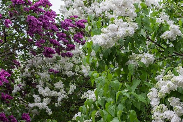 Blühende büsche von weißen und lila fliedern. regentropfen auf weißen fliederblättern.
