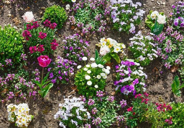 Blühende bunte frühlingsblumenbeet rote tulpe, violette viola tricolor blumen, weiße primeln