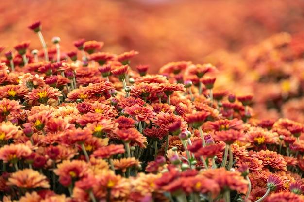 Blühende chrysanthemenblumen in einem garten.