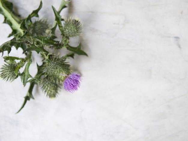Blühende distel auf grauem hintergrund. flache lage, draufsicht, nahaufnahme. artwork-modell mit textfreiraum