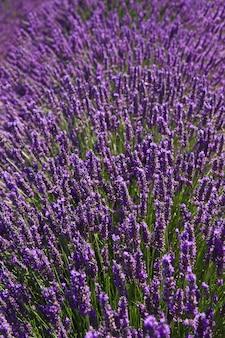 Blühende duftende felder der lavendelblume