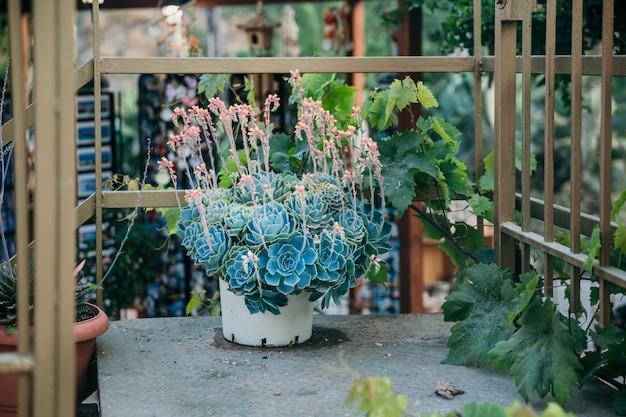 Blühende echeveria setosa. echeveria rote blüten. mexikanischer kracher. mexikanische rose saftig. topfpflanze im garten draußen