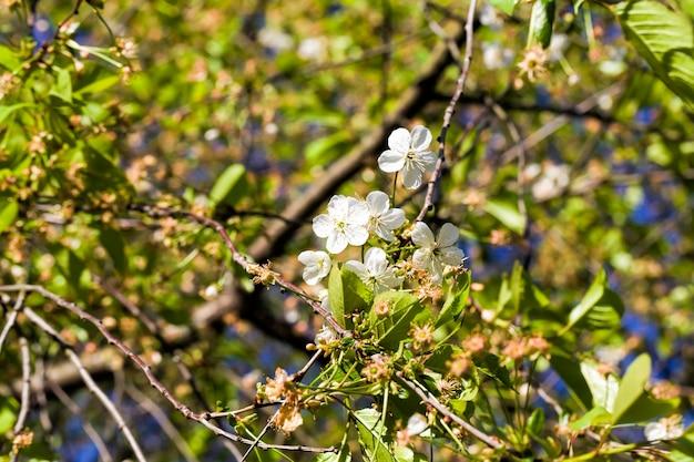 Blühende echte farbobstbäume im frühling im garten, nahaufnahme und details der blühenden pflanzen auf einem hintergrund des grünen laubs