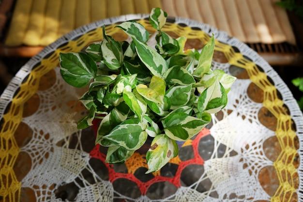 Blühende epipremnum aureum-pflanzen in vasendekoration auf glastisch mit natürlichem sonnenlicht