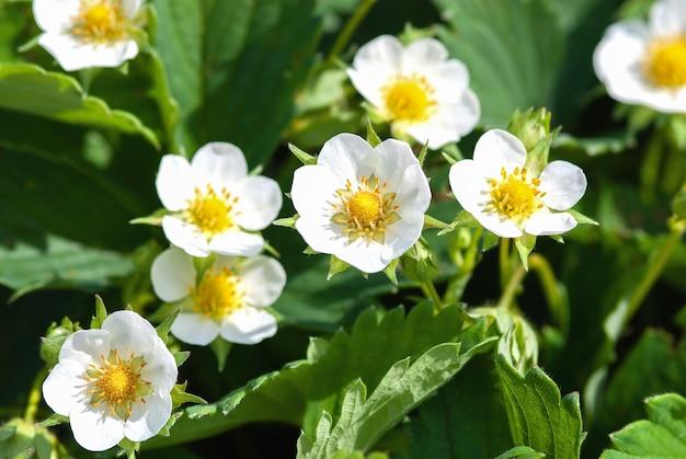 Blühende erdbeere in der sonne, gartenpflanzen im frühling pflegen