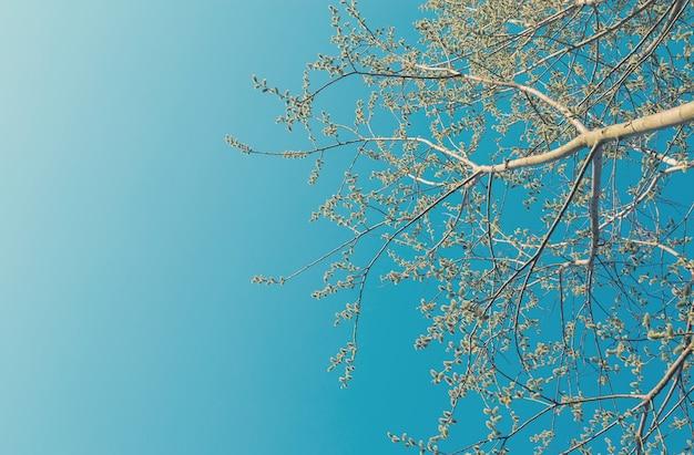 Blühende espenzweige gegen blauen himmel im frühling. abstrakter natürlicher hintergrund. platz für text.