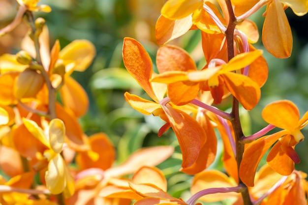 Blühende exotische blumen von orange orchideen, makro.