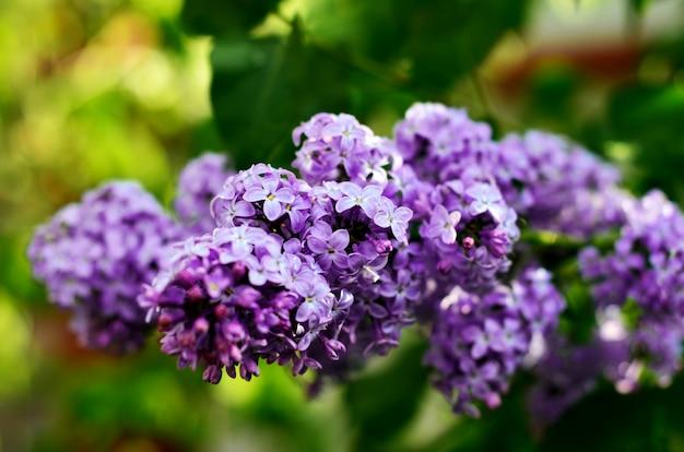 Blühende flieder der makroansicht. frühjahrlandschaft mit bündel violetten blumen.