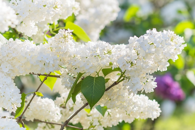 Blühende flieder im botanischen garten