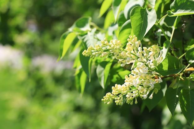 Blühende flieder im park. weicher selektiver fokus. frühling natürlicher hintergrund