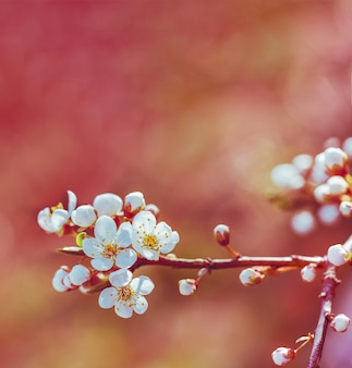 Blühende frühlingsniederlassung eines obstbaumes mit weißen blumen. geringe schärfentiefe, selektiven fokus. getönt
