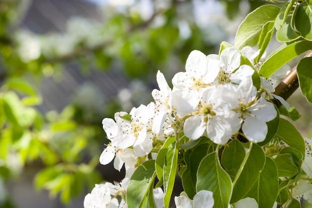 Blühende frühlingsobstbäume im garten die blüten der bäume, von denen sie je nach baumart obst oder beeren bekommen können