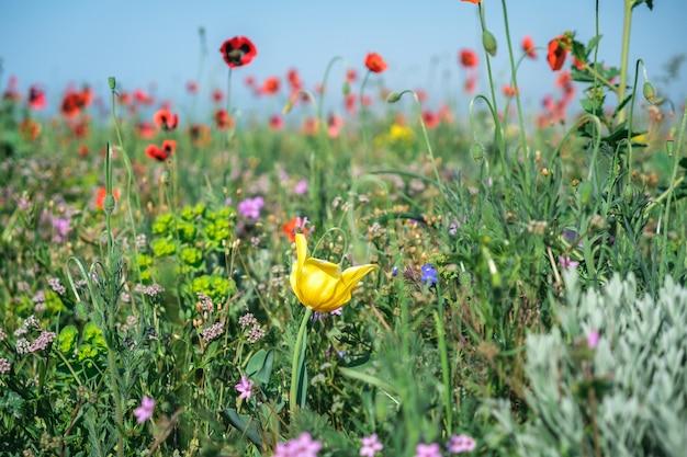 Blühende frühlingswiese mit wilden blumen und kräutern. gelbe tulpennahaufnahme auf einem hintergrund von roten mohnblumen und grün.