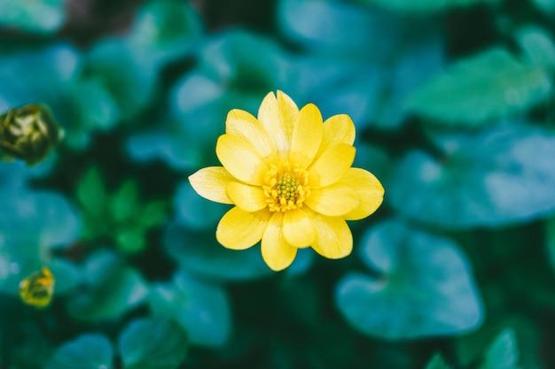 Blühende gelbe blume von schöllkraut oder pilewort (ficaria verna) im frühjahr, draufsicht nahaufnahme