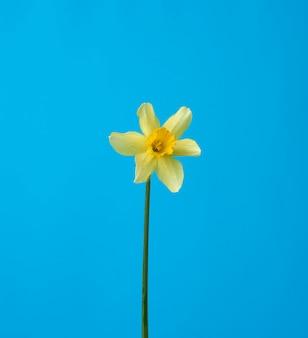 Blühende gelbe narzissenknospe auf einem blauen hintergrund, frühlingsblume