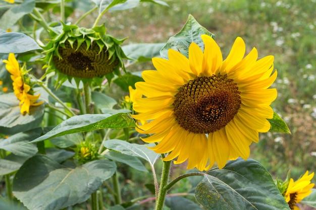 Blühende gelbe sonnenblume und reife sonnenblume mit samen. blauer himmel