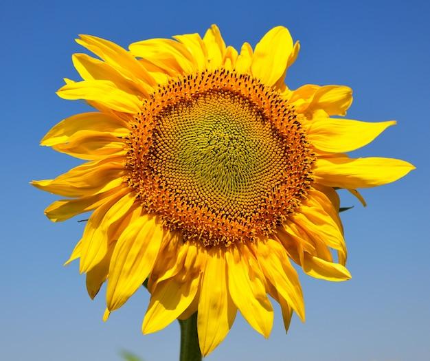 Blühende gelbe sonnenblume