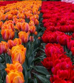 Blühende gelbe und rote tulpen im keukenhof, dem weltgrößten blumengartenpark