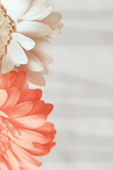 Blühende gerbera-blume rosa und weiß mit kopierraum für ihren text gefärbt. grußkarte für wünsche mit valentinstag, geburtstag, hochzeit. vertikales format. selektiver fokus.