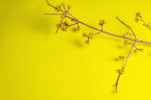 Blühende hartriegelzweige auf einem gelben sonnigen