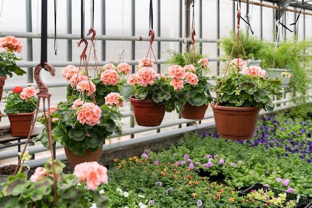 Blühende jahreszeit im treibhaus mit zimmerpflanze in der blüte hängendes landwirtschaftsgrünsämlinggeschäft
