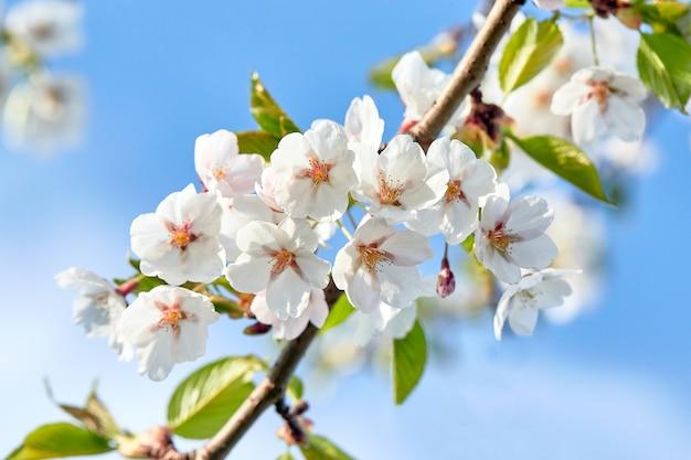 Blühende japan-kirschblüte-blumen. kirschbaumzweig