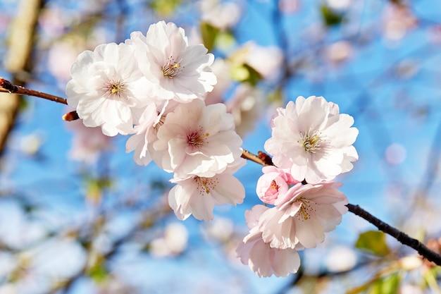 Blühende japan-kirschblüte-blumen