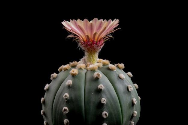 Blühende kaktus-blume astrophytum asterias