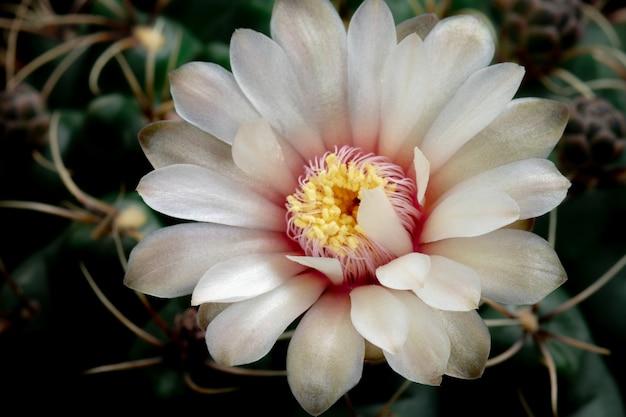 Blühende kaktus-blume gymnocalycium-weiß-farbe