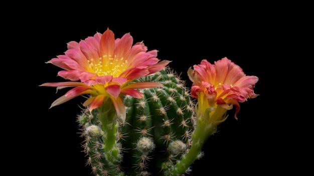 Blühende kaktus-blumen lobivia hybrid zweifarbige farbe