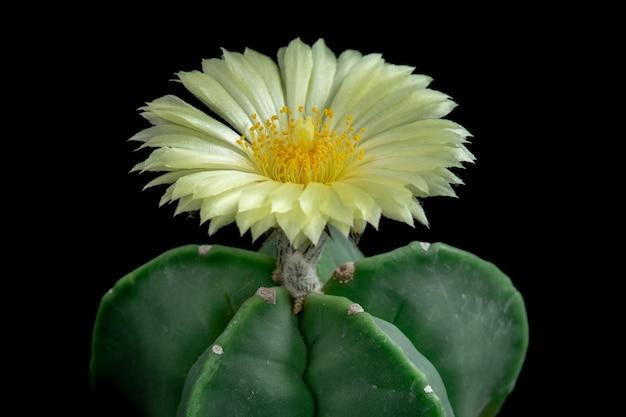 Blühende kaktusblüte astrophytum myriostigma