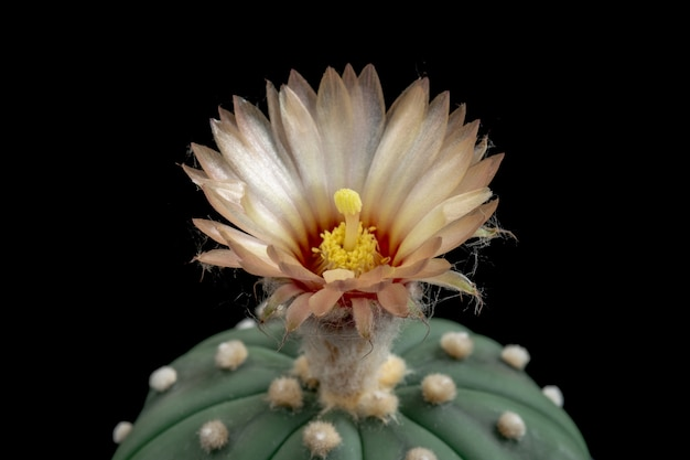 Blühende kaktusblume astrophytum asterias