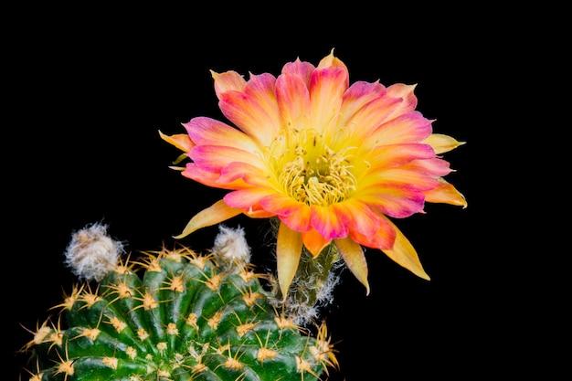Blühende kaktusblume lobivia hybrid two-tone farbe