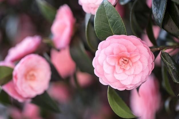 Blühende kamelienblüten in korea