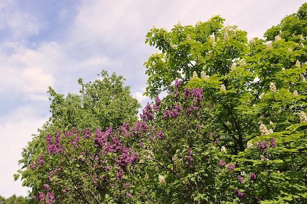 Blühende kastanie und flieder im park im frühling