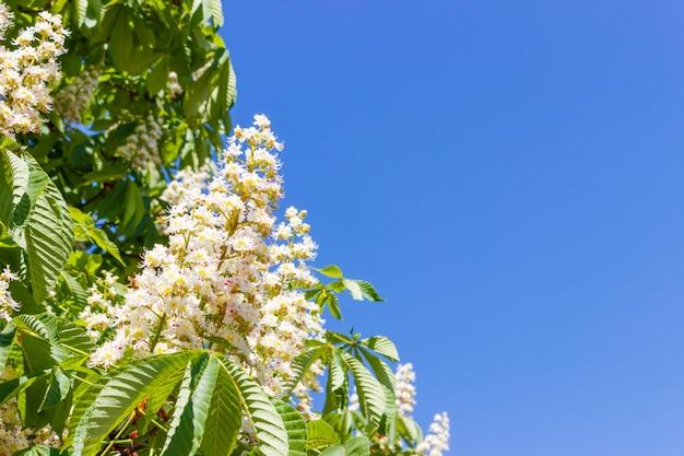 Blühende kastanienblumen mit blättern, blauer himmel